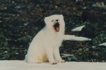 arctic fox barking