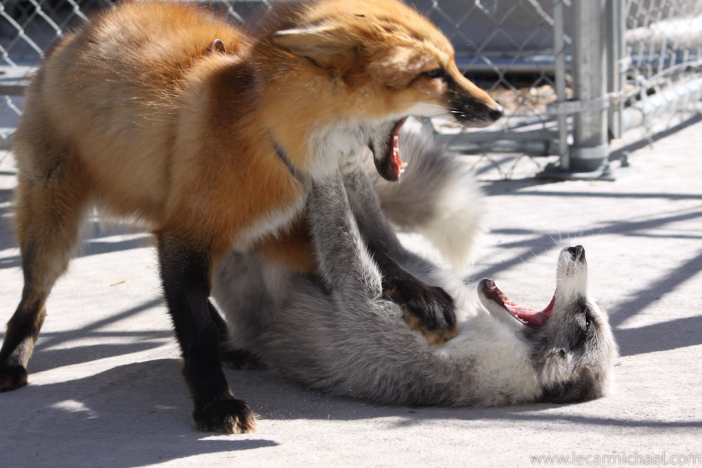Domestic foxes playing