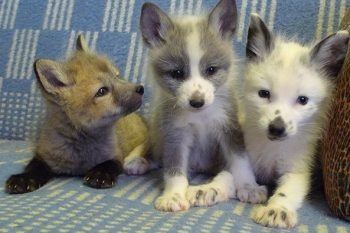 Domestic fox cubs on couch