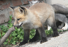fox pup playing with stick