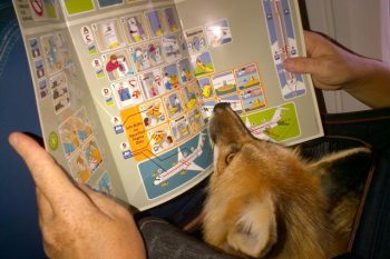 domestic fox on a plane