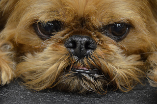 Brussels Griffons also suffer from Chiari malformations. Photo courtesy of andreaarden via Flickr Commons