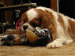 A King Charles spaniel, courtesy of colorblindPICASO on Flickr Commons.