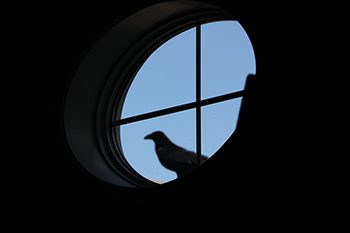 raven in a window