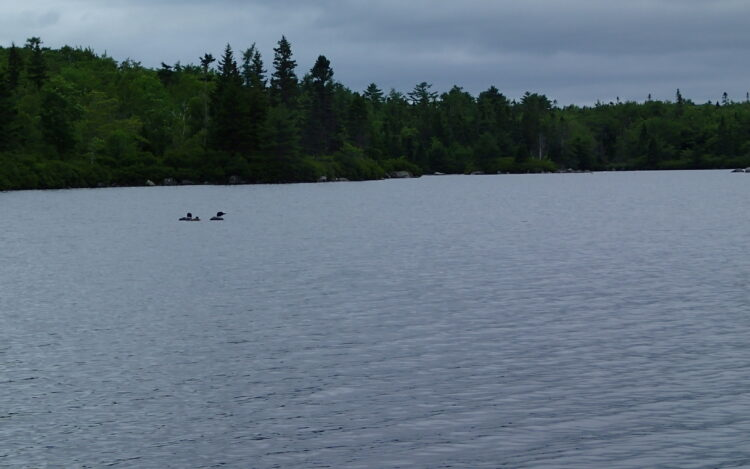 Family of loons on a lake
