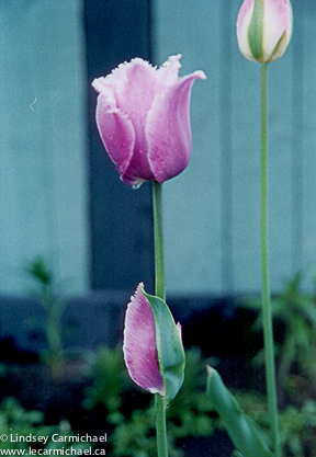 """The same bulb produced an ordinary tulip the following year. That's how you can tell that the mutation was not in the original """"embryo,"""" but happened during the plant's development."""