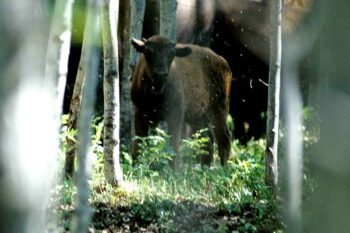 young bison in the woods
