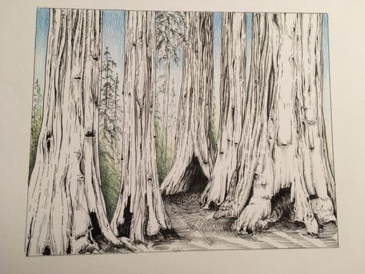 sketch of redwood trees by Amanda Roe