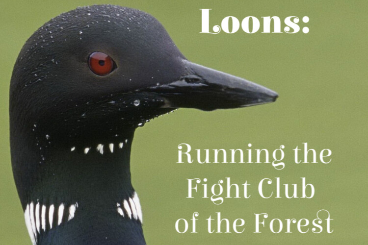 Loons are a beautiful, iconic bird of The Boreal Forest. They are also fiercely territorial and a little scary!