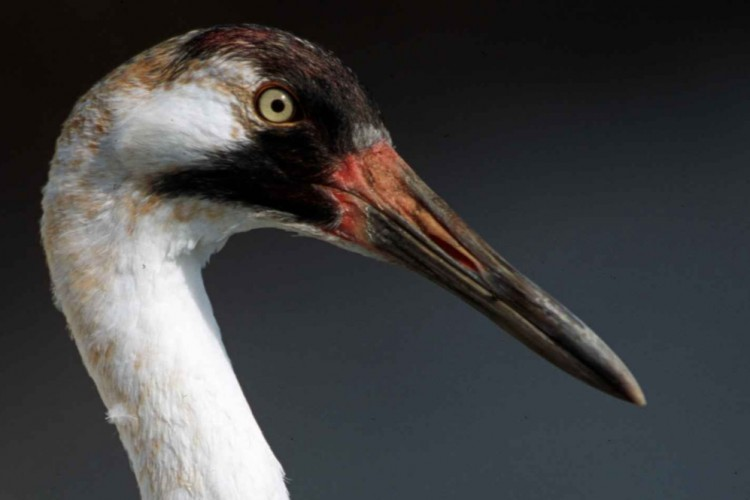 Because their breeding grounds in the boreal forest are protected, the whooping crane population has increased from less than 20 to more than 400.