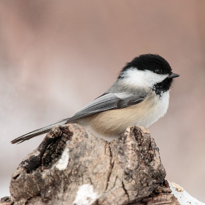Boreal chickadees horde thousands of seeds for winter.