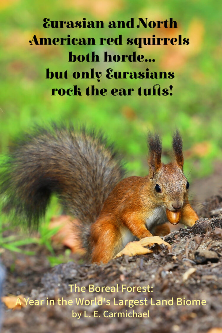 Squirrels are familiar denizens of both North American and Eurasian boreal forests, building hordes on both continents.