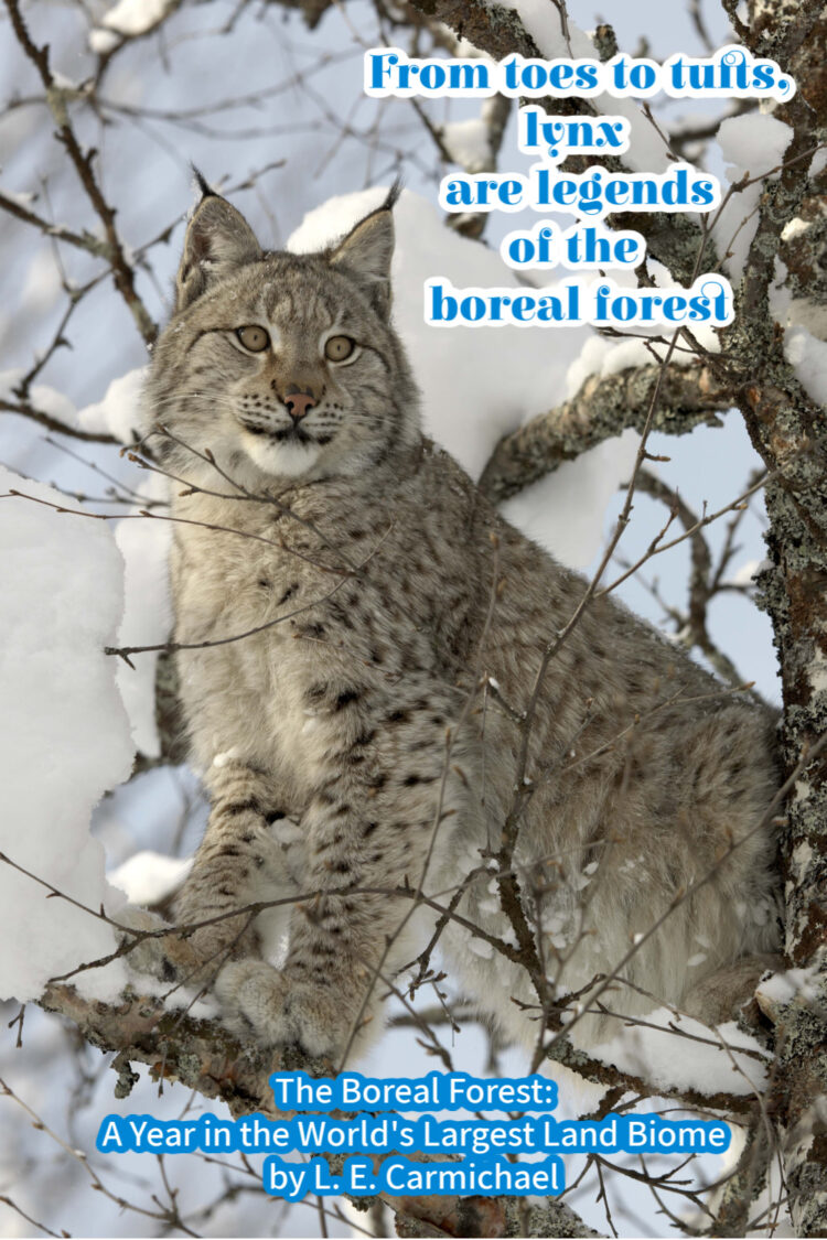 The Canada lynx is one of the few cat species to call the boreal forest home.