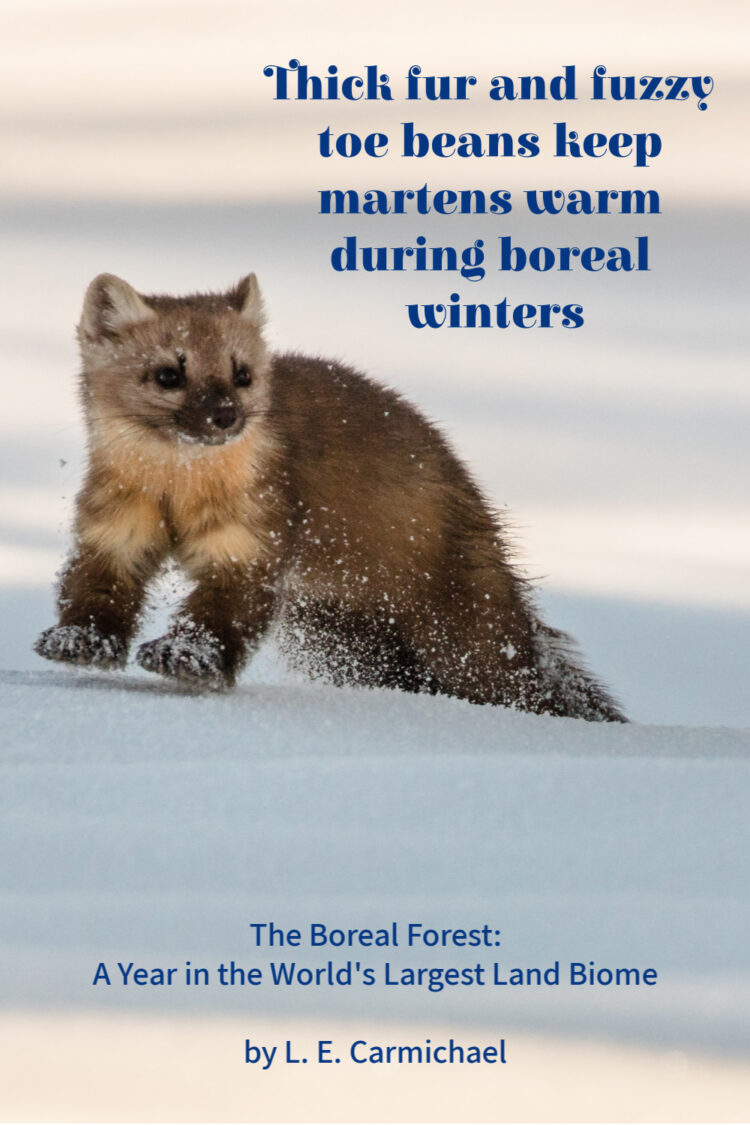 To stay warm in a boreal winter, North American martens grow thick fur - even on the pads of their feet!