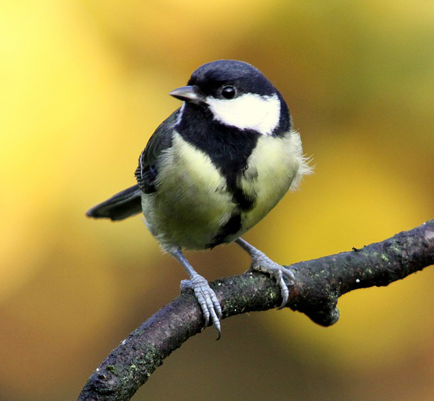 reference photo of a great tit