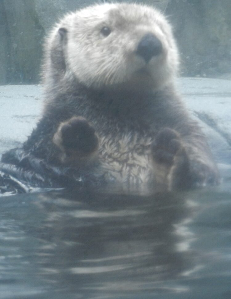 Sea otter at Vancouver Aquarium